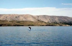 Dolphin playing Pag Island